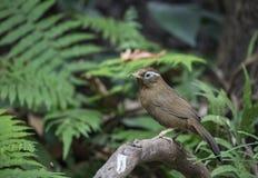 Chinese Hwamei, Wilde vogel in Vietnam stock afbeeldingen