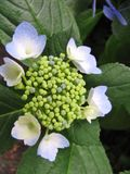 Chinese hydrangea flowers and buds  on leafy green background Royalty Free Stock Image