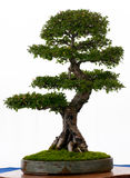 Chinese iep als bonsai Royalty-vrije Stock Foto's