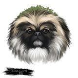 Chinese Imperial Dog. Dog breed isolated on white background digital art illustration. Cute pet hand drawn portrait. Graphic clipart design realistic animal stock photo