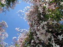 Chinese jasmine China jasmine Winter jasmine royalty free stock photo