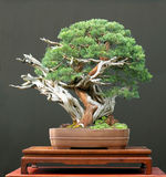 Chinese jeneverbessenbonsai stock afbeeldingen