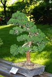 Chinese juniper bonsai Royalty Free Stock Photography