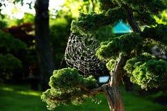 Chinese juniper bonsai Stock Images