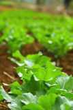 Chinese kale vegetable in garden Royalty Free Stock Photography