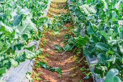 Chinese kale vegetable in garden for background Royalty Free Stock Photography