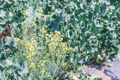 Chinese kale vegetable in garden for background Royalty Free Stock Photo