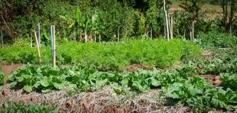 Chinese Kale vegetable garden Stock Photos