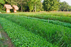 Chinese Kale and Vetiver Grass in field. Stock Photos