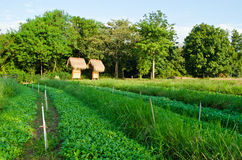 Chinese Kale and Vetiver Grass in field. Stock Photo