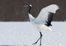 Chinese Kraanvogel, Red-crowned Crane, Grus japonensis. Chinese Kraanvogel baltsend, Red-crowned Crane displaying stock photography