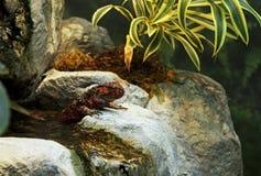 Chinese krokodilhagedis stock foto