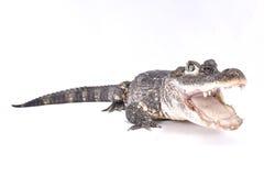 Chinese krokodille, Krokodillesinensis stock fotografie