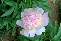 Chinese kruidachtige lactiflora van Pioen bloem-Paeonia Royalty-vrije Stock Foto's