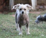 Chinese Kuif Kale Vrouwelijke Hond - Gimly Royalty-vrije Stock Afbeelding