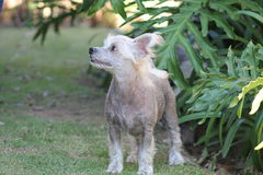 Chinese Kuif Kale Vrouwelijke Hond - Gimly Royalty-vrije Stock Afbeeldingen