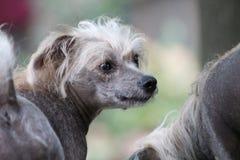 Chinese Kuif Kale Vrouwelijke Hond - Gimly Stock Afbeelding