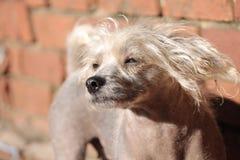 Chinese Kuif Kale Vrouwelijke Hond - Gimly Stock Foto
