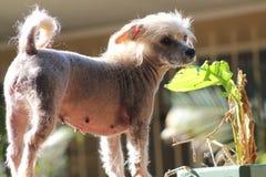 Chinese Kuif Kale Vrouwelijke Hond - Gimly Stock Fotografie