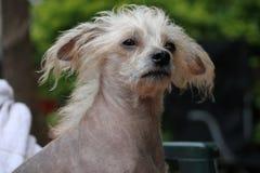 Chinese Kuif Kale Vrouwelijke Hond - Gimly Royalty-vrije Stock Fotografie