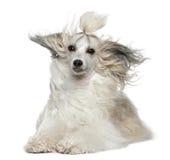 Chinese KuifHond met haar in de wind Stock Afbeelding