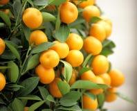 Chinese kumquat Stock Photos