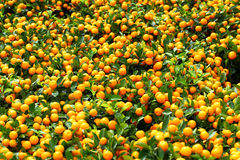 Chinese kumquat Stock Photography
