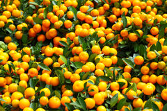 Chinese kumquat for chinese new year Stock Photo