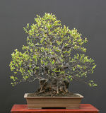 Chinese kweepeerbonsai in de lente royalty-vrije stock foto's