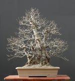 Chinese kweepeerbonsai, de wintersilhouet Royalty-vrije Stock Fotografie