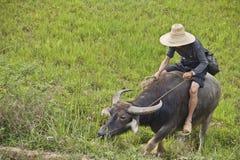 Chinese landbouwer die zijn buffels leidt Royalty-vrije Stock Fotografie