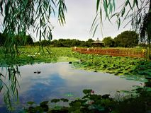 Chinese landscape, lotus, weeping willow and lake. Lotus flower, lake, nature, environment, beauty, leaves, green, greenery, flora, water, peace and harmony stock photo