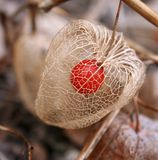 Chinese lantern. Close up of chinese lantern with red seed in wintertime Royalty Free Stock Image