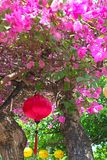 Chinese lantern on a bougainvillea Royalty Free Stock Photo
