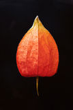 Chinese lantern flower #2 Royalty Free Stock Image