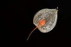 Chinese lantern flower. After its orange outer shell has flaked off showing the seed pod in ther middle Stock Images