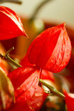 Chinese Lantern flower,  Physalis alkekengi. Chinese Lantern flower or Physalis alkekeng is a flower with 5 lobed corolla and red papery covering. It is also Stock Image