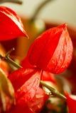 Chinese Lantern flower,  Physalis alkekengi Stock Image