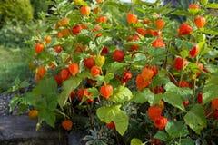 Chinese lantern flower (Physalis alkekengi) Stock Photos