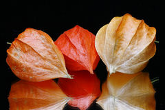 Chinese Lantern Fruits Stock Image