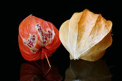 Chinese Lantern Fruits Royalty Free Stock Photography