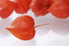 Chinese lantern lily Stock Image