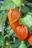 Chinese lantern lily Stock Photos