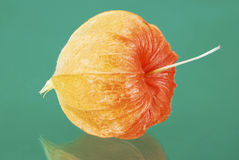 Chinese lantern lily Royalty Free Stock Photography