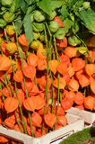 Chinese Lantern (Physalis alkekengi) on a farmers market Royalty Free Stock Photography