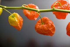Chinese lantern plant Royalty Free Stock Photos
