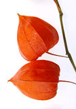 Chinese lantern plant. Close up of Chinese lantern plant (Physalis franchetti Royalty Free Stock Images