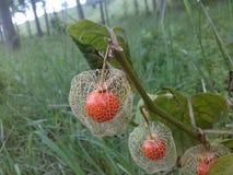 Chinese Lantern Plant. Beautiful Physalis alkekengi aka Chinese Lantern Plant Stock Photo