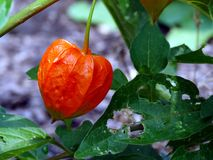Chinese lantern plant. A Chinese lantern plant fruit Royalty Free Stock Photo