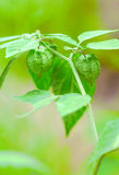 Chinese lantern plant Stock Photos